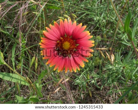 Gaillardia pulchella, commonly known as the Indian Blanket flower.  It is a wildflower found in meadows and fields.  Also known as firewheels.  This flower is part of the sunflower family. #1245315433