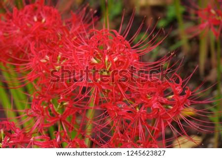 Cluster amaryllis (Higan-bana) #1245623827