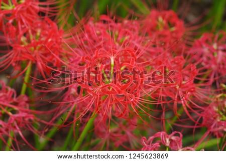 Cluster amaryllis (Higan-bana) #1245623869