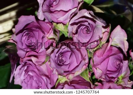 beautiful colorful rose close up #1245707764