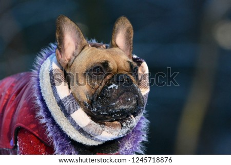 Fawn French Bulldog dog with winter scarf and fur coat with snow on muzzle #1245718876