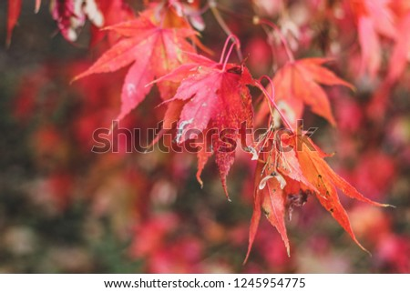 Bright autumn background with elegant red japanese maple leaves in sun beams.   #1245954775