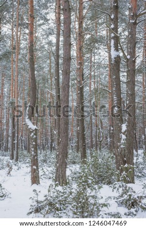 Winter in the Pine Forest. Nature in the vicinity of Pruzhany, Brest region,Belarus. #1246047469