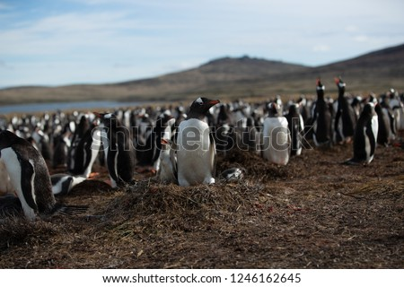 Gentoo penguin colony (Adults and chicks) in the Falkland islands with ocean and mountain in the background.