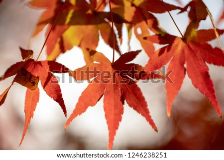 Japan Maple Autumn #1246238251