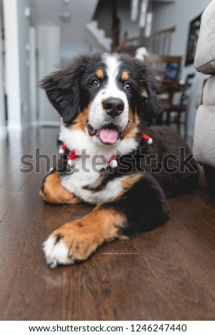 Bernese Mountain Dog puppy ready for the holiday season #1246247440