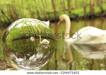 Swans seen in a glassball #1246471603