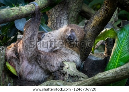 lazy sleeping sloth, Bradypus variegatus