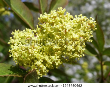 Young green elderberry inflorescence close up, spring #1246960462