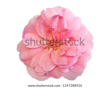 Pink rose flower isolated on white background #1247288926