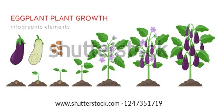 Eggplant growing process from seed to ripe vegetables on plants isolated on white background. Eggplant growth stages, plant life cycle infographic elements in flat design. #1247351719