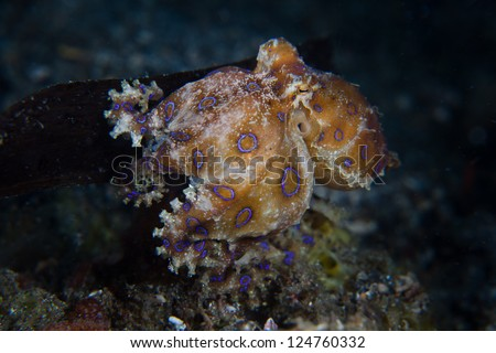 A female Blue-ring octopus (Hapalochlaena sp.) walks along the sandy bottom carrying a clutch of eggs under her arms.  She will die after the eggs hatch. #124760332