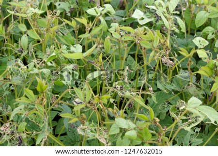 Soybean plants damaged by caterpillars of painted lady (Vanessa cardui). It is migrating butterfly species whose larvae can damage many types of crops. #1247632015