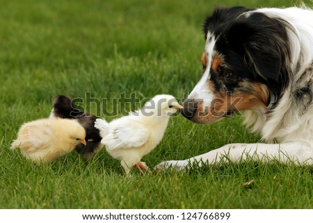 Australian Shepherd and Chick A herding dog being very gentle with baby chicks #124766899