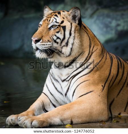 tiger #124776052