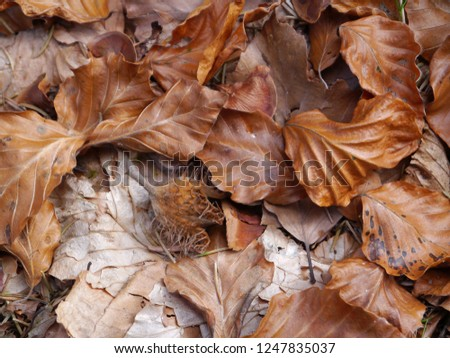 beech leaves in autumnal colors with beechnuts on woodground #1247835037