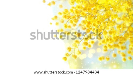 spring Mimosa flowers. Mimosa on white background, concept of spring season. symbol of 8 March, happy women's day. copy space #1247984434