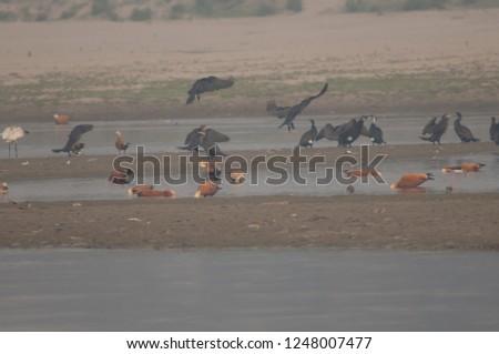 Ruddy shelducks (Tadorna ferruginea) feeding. Yamuna river. Agra. Uttar Pradesh. India. #1248007477