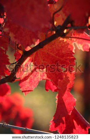 red leaves in autumn season italy vine trees tuscany hills #1248135823