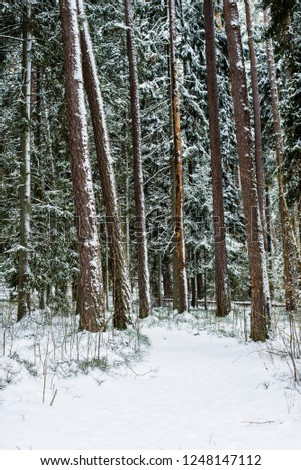 Snow-covered pine forest on a cloudy winter day. Lahemaa national park, Estonia #1248147112