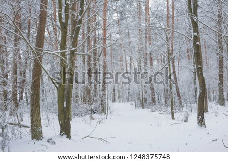 Winter in the Pine Forest. Nature in the vicinity of Pruzhany, Brest region,Belarus. #1248375748