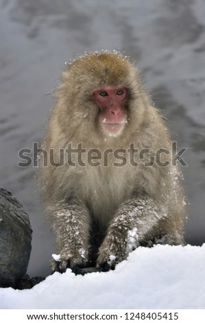 Snow monkey. The Japanese macaque ( Scientific name: Macaca fuscata), also known as the snow monkey. Winter season. Natural habitat. #1248405415