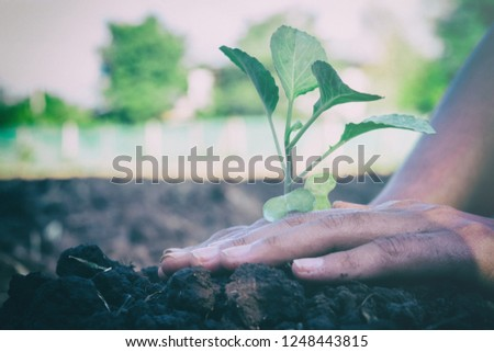 Hands holding cabbage Prepare the planting to grow.Growth concetp. #1248443815