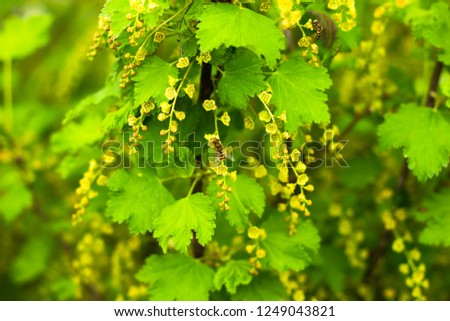 Green leaves of currant #1249043821