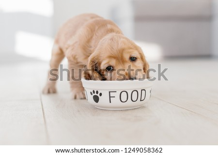 English cocker spaniel puppy eating dog food from ceramic bowl #1249058362