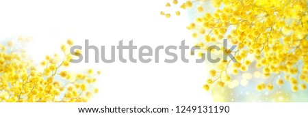 spring Mimosa flowers on white background. spring season concept. symbol of 8 March, happy women's day. copy space. banner #1249131190