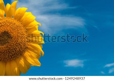 sunflower summer flower close-up. agroculture, harvest. #1249248937