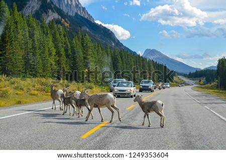Bighorn in Kananaskis Country in autumn, Canadian Rockies, Alberta, Canada #1249353604