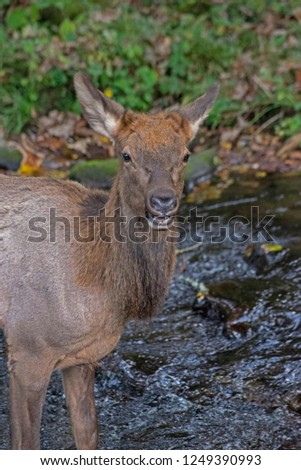 Female Elk wading in creek waters. #1249390993