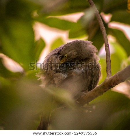 A Indian Babbler on a tree #1249395556