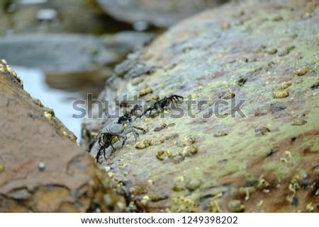 Crabs crawling across rocks by edge of ocean #1249398202