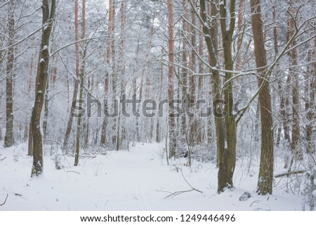 Winter in the Pine Forest. Nature in the vicinity of Pruzhany, Brest region,Belarus. #1249446496