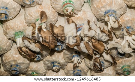 Commercial Agricultural Cultivation of Oyster Mushroom #1249616485