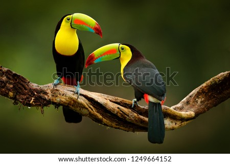 Toucan sitting on the branch in the forest, green vegetation, Costa Rica. Nature travel in central America. Two Keel-billed Toucan, Ramphastos sulfuratus, pair of bird with big bill. Wildlife. #1249664152