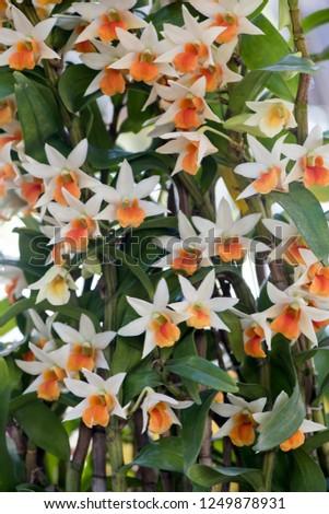 Cattleya orchid,flower blooming in the garden. #1249878931