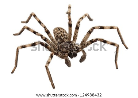 wolf spider lycosa sp in high definition with extreme focus and DOF (depth of field) isolated on white background #124988432