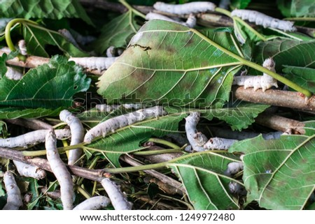 silkworm eating leaf mulberry in farm #1249972480