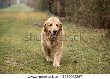 wet golden retriever dog #1250002267