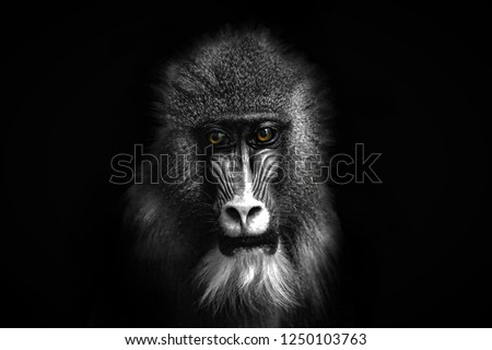 Closeup portrait of a baboon with yellow eyes #1250103763