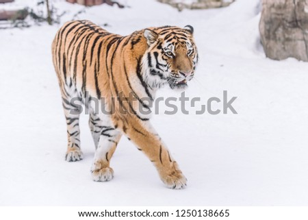 Young Tiger hunting in the morning snow #1250138665