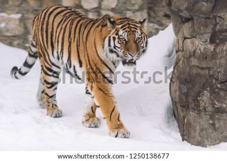 Young Tiger hunting in the morning snow #1250138677