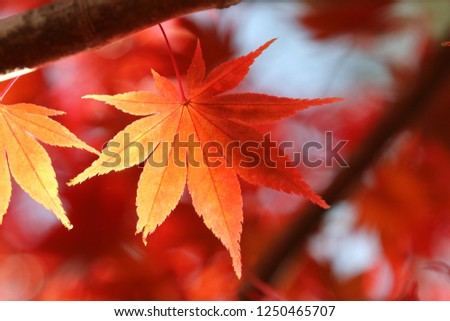 "Close-up photography of the leaf of the maple.Colored leaves of ""Janohana yurakuen"" of Motomiya-shi, Fukushima, Japan. #1250465707"