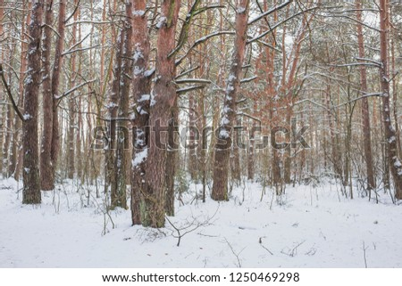 Winter in the Pine Forest. Nature in the vicinity of Pruzhany, Brest region,Belarus. #1250469298