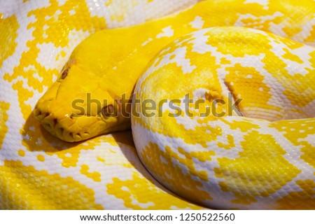 A picture of a beautiful Reticulated Python(Albino), Ladkrabang,Bangkok,Thailand
