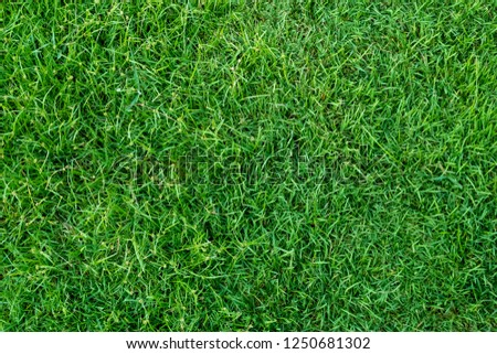 Green grass texture for background. Green lawn pattern and texture background. Close-up. #1250681302