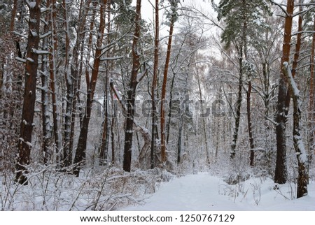 Winter snow forest. Snow lies on the branches of trees. Frosty snowy weather. Beautiful winter forest landscape. #1250767129